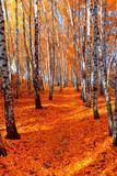Fototapeta Autumn birch