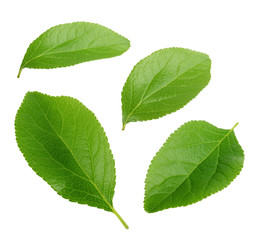 plum leaves isolated on white