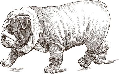 English Bulldog walking