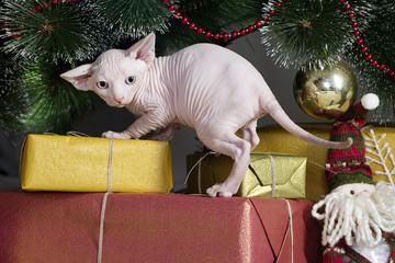 Canadian sphynx cat