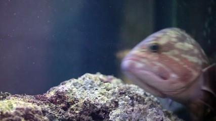 Dusky Grouper (Epinephelus Marginatus)