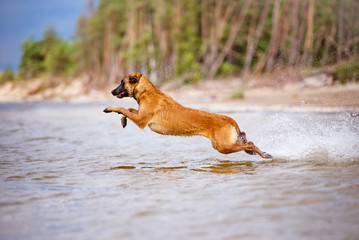 active malinois dog jumps into water