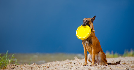 malinois posing with a frisbee
