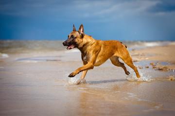 belgian shepherd dog running on the beach