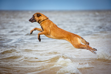 malinois dog jumps above water