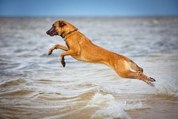 malinois dog jumps above water