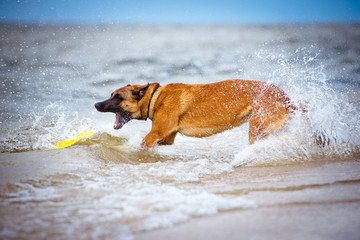 dog catching frisbee in water