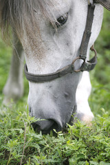 Portrait of white arabian horse at the pasture