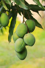 Bunch of green mango on tree
