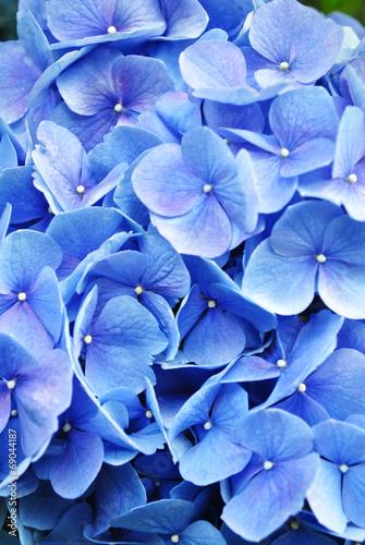 Papiers peints Hortensia Extreme Close-Up Hydrangea
