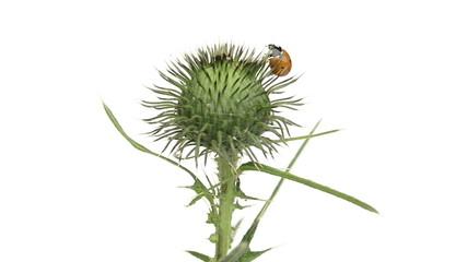 Ladybird on a thistle