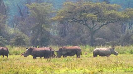 Black rhinos grazing on the field.