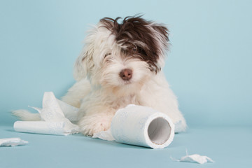 Portrait of a boomer puppy with toilet paper