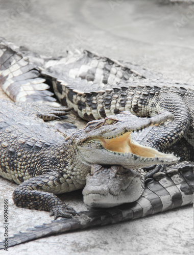 Foto op Plexiglas Krokodil Crocodile in the farm