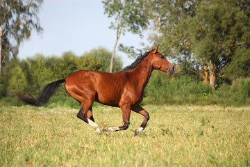 Beautiful bay horse running at the field
