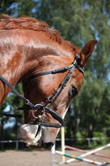 Portrait of chestnut sport horse