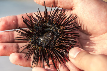 Sea hedgehog (sea urchin) in Costa Dorada, Spain