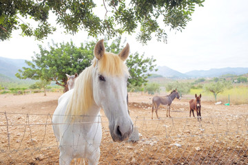 White horse and two donkeys