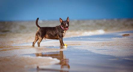 happy english bull terrier dog at the sea