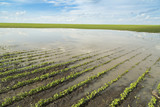 Agricultural disaster, field of flooded soybean crops.