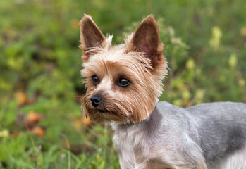 Cute yorkie puppy looking
