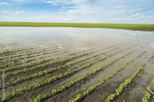 Agricultural disaster, field of flooded soybean crops. - 69048318