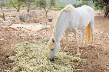 White horse eating forage