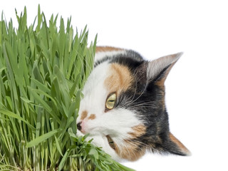 Female cat eating grass, isolated