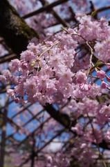 Cherry flowers in  sunny blue sky