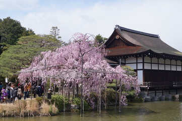 cherry trees with Japanese building