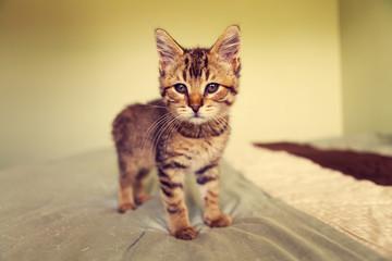 Small Tabby Cat in Bedroom