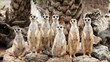 Portrait of meerkat family - 69052781