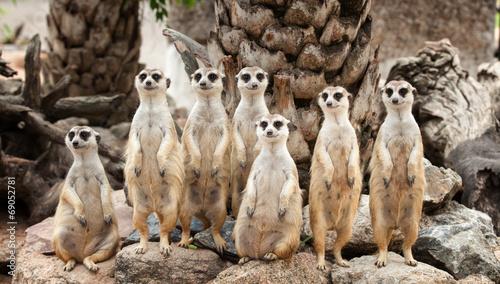 Portrait of meerkat family - 69052781
