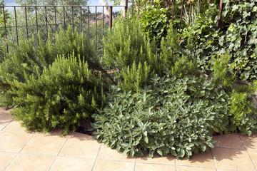 Rosmarin, Rosmarinus, Salbei, Salvia, officinalis,