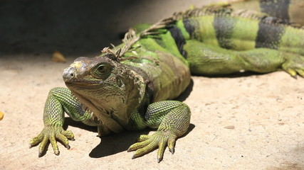 Big Green iguana on ground, HD Clip.
