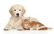 Golden Retriever puppy and ginger kitten
