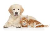Golden Retriever puppy and ginger kitten