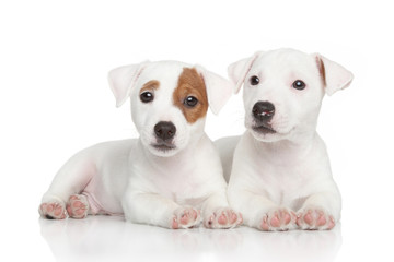 Jack Russell puppies on white