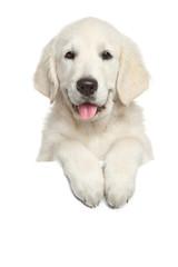 Golden Retriever puppy above white banner