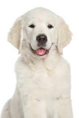 Golden Retriever puppy, close-up on white background
