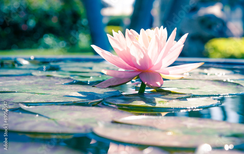 Poster Water planten Abstract beautiful pink waterlily or lotus flower in black and w