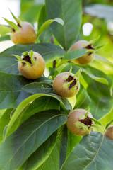 Medlar fruits