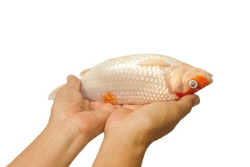 Dead carp fish, koi fish on hand