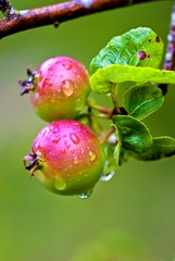 Branch with unripe apples in summer rain.