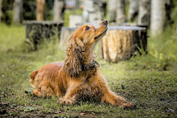red dog Spaniel lays on the grass and looking up