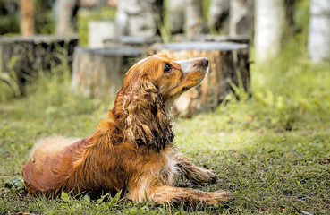 red dog Spaniel lying on the grass