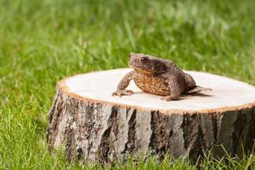 frog on the tree stump