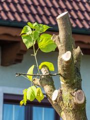 Austrieb bei einem Baum