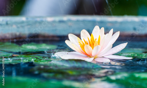 beautiful pink waterlily or lotus flower in a pond with rain dro - 69059164