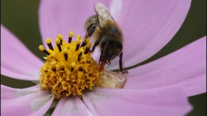 Bee collects nectar and pollen